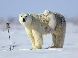 polar bear wallpaper 2048x1536 58907