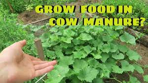 which plants grow well in cow manure