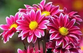 manfaat bunga krisan bunga teh bunga krisan