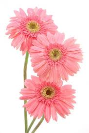Pink Gerber Daisies Wall Decal Wallmonkeys Com
