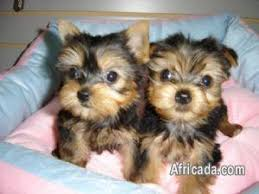 beautiful teacup yorkie puppies for