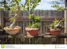 Three Bonsai Trees Stock Image Image Of Gardening Traditional 75891065