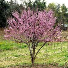 cercis canadensis forest
