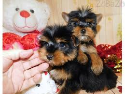 amazing tiny teacup yorkshire terrier