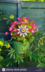 Begonia And A Passion Flower In A Planter Hanging On A Fence Uk Stock Photo Alamy