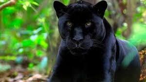 Una pantera nera è stata avvistata nelle campagne di San Severo ...