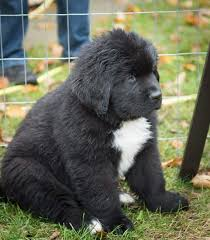 Buy Newfoundland Puppies ...