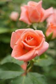Rose Sonia バラ ソニア | Hybrid tea roses, Tea roses, Rose flower
