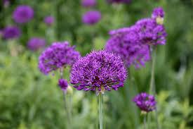 purple sensation ornamental onion