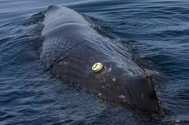 Image result for Hayslip Humpback whale