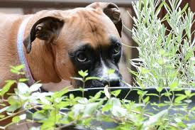 15 plants toxic to dogs with photos