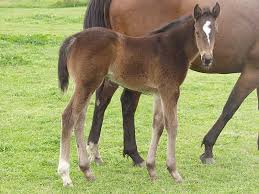 nutrition for the pregnant mare
