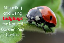 using ladybugs for garden pest control
