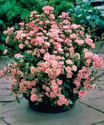 fairy pink rose plant in container