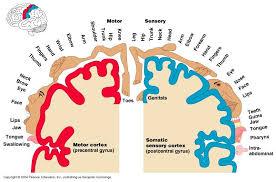 motor sensory homunculus brain