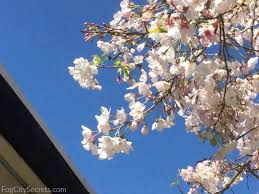 san francisco cherry blossom festival