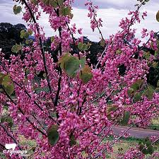 judas tree perth wa garden