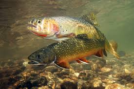 trout full hd quality wallpapers 50