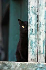 Pin by poppy macdonald on black cats | Crazy cats, Cats, Black cat