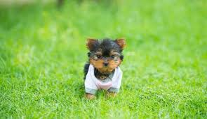 teacup yorkie a pet pa s guide to