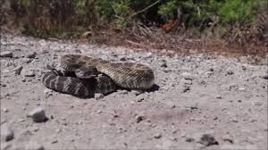 Cal Poly Slo Business Removes Rattlesnakes From Homes San Luis Obispo Tribune