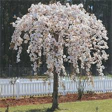 weeping cherry nz google search