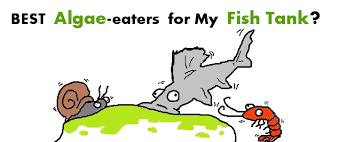 hair algae eaters for a spotless fish tank