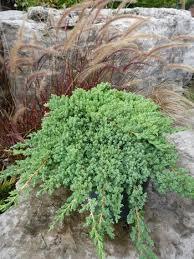 juniperus probens nana from nvk
