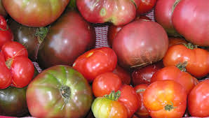 how to choose tomato plant varieties