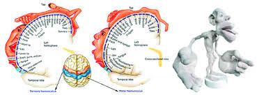 the cortical homunculus reshaping the