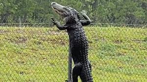 Video Alligator Climbs Over Fence In Florida