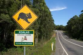 Koalas Cross Here | Aaron Jacobs | Flickr
