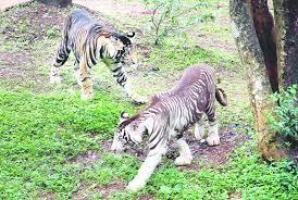 Zoo showcases black tigers