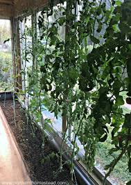 how to grow tomatoes indoors northern