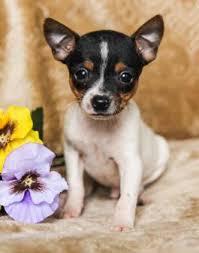 teacup fox terrier puppies
