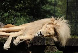 Fotos gratis : césped, fauna silvestre, dormido, depredador, león ...