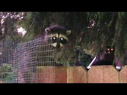 Four Raccoon Kits Stuck On Our Fence Youtube