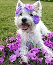 Idea by Cheryl Page on Westie Glamour Shots | Westies, Pet dogs puppies,  West terrier