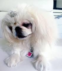 Pin by Hilda Gilbert on ♥ I Love Pekingese ♥ | Pekingese dogs, Pekingese,  Kawaii animals