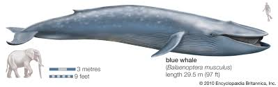 blue whale | Facts, Habitat, & Pictures | Britannica