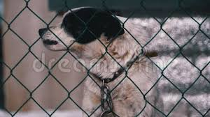 The Dog Is Barking Behind A Fence Stock Video Video Of Animal Cage 61465395