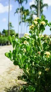 Broombush (Baccharis dioica) — Plant Creations