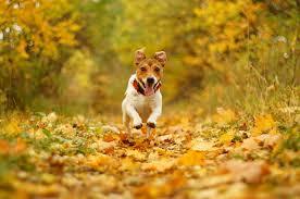 Wallpaper Jack Russell terrier dog Foliage Run Autumn Animals
