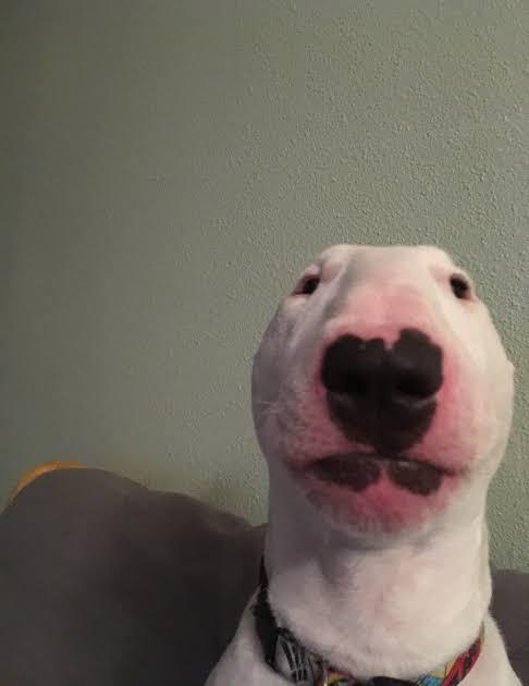 """Image result for nelson bull terrier"""""""