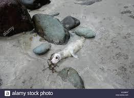 Bambino morto guarnizione sulla spiaggia a Caerfai Bay vicino a St ...