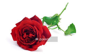 Red Rose Wall Decal Pixers We Live To Change