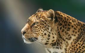 تحميل خلفيات ليوبارد قرب الحياة البرية الحيوانات المفترسة