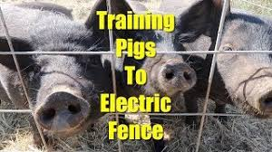 Re Training Pigs To Electric Fence Youtube