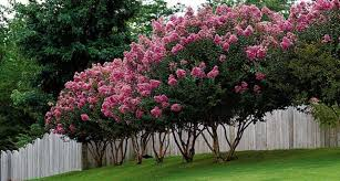 Why have my crape myrtle leaves turned white? - Houston Chronicle