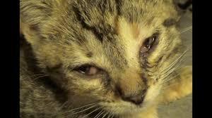 help my cat s eye watering causes 5